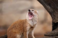 Free Lack Of Sleep - Yellow Mongoose Royalty Free Stock Images - 19101969