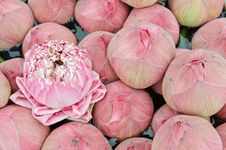 Free Group Of Pink Lotus. Royalty Free Stock Photo - 19101975