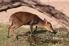 Free Formosan Reeves S Muntjac Stock Images - 19101984