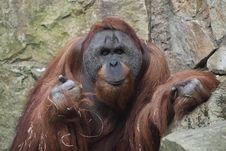 Free Orangutan Stock Image - 19102071