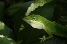 Free Green Lizard Stock Image - 19102751