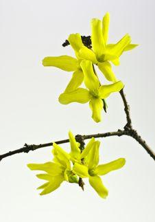 Free Forsythia Flowers Stock Photo - 19103410