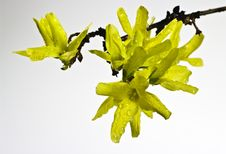 Free Forsythia Flowers Royalty Free Stock Images - 19103539