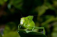 Free Green Cricket Stock Photos - 19104273