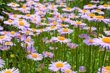 Free Purple Daisies Royalty Free Stock Photo - 19104615