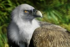 Free Griffin Vulture Royalty Free Stock Image - 19104806