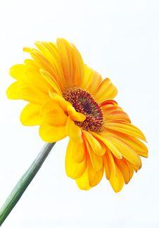 Free Yellow Gerbera Stock Images - 19105064