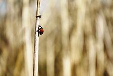 Free Ladybug Royalty Free Stock Images - 19105089