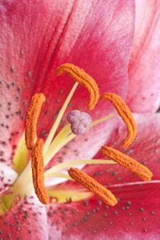 Free Dark Pink Lily Stock Image - 19106701
