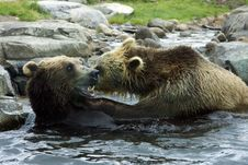 Free Grizzly (Brown) Bear Fight Royalty Free Stock Photography - 19108977