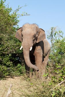 Free Elephant In The Wilderness Royalty Free Stock Photography - 19109497
