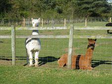 Alpacas On A Farm. Vicugna Pacos. Royalty Free Stock Photo
