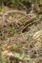Free Lizard Closeup Stock Photo - 19113810