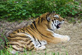 Free Bengal Tiger Resting Royalty Free Stock Photography - 19114327