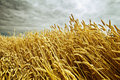 Free Ripe Wheat In The Field Royalty Free Stock Photos - 19118588
