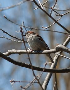 Free Male House Sparrow Stock Photography - 19110162