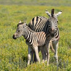 Free Cute Young Zebra With Mother Royalty Free Stock Image - 19110316