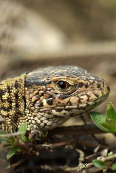 Free Lizard Closeup Stock Photography - 19113842