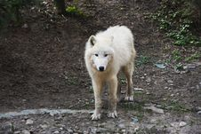 Free Arctic Wolf Looking At Camera Stock Photos - 19114023