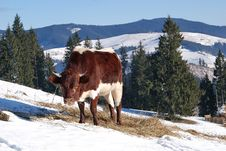 Mountain Cow Royalty Free Stock Photo