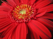Free Red African Daisy Royalty Free Stock Photos - 19114248