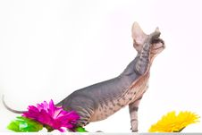 Free Gray Kitten Of Sphinxith Purple Flower Royalty Free Stock Images - 19114939
