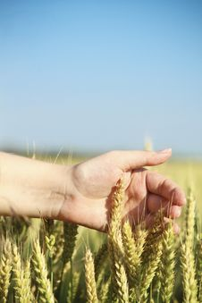 Free Hand Through Some Wheat In A Field Royalty Free Stock Photos - 19115268