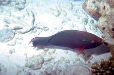 Dusky Parrotfish Royalty Free Stock Photography