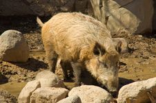 Free Wild Boar Royalty Free Stock Photography - 19116197