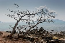 Dead Trees On The Beach. Royalty Free Stock Images