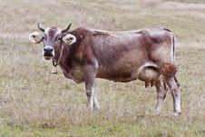 Free Cow Royalty Free Stock Photo - 19116995