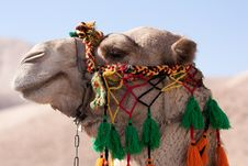 Free Head Of An Camel Royalty Free Stock Photography - 19117247