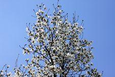 Free White Magnolia Flowers Royalty Free Stock Photo - 19117855