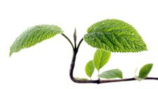 Free Young Leaves Stock Images - 19119334