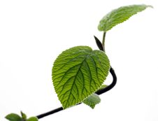 Free Young Leaves Royalty Free Stock Photography - 19119347
