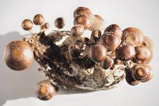 The Shiitake.Mushroom Royalty Free Stock Images