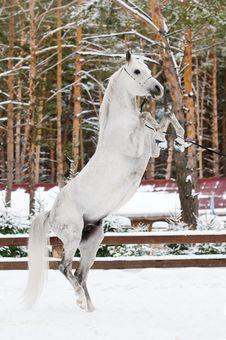 Free White Arabian Stallion Portrait In Winter Royalty Free Stock Photo - 19119815