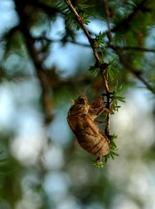 Free Locust Or Cicada Shell In Tree Stock Images - 19119824