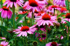 Free Large Flowers Of Echinacea Purpurea Stock Photo - 191152080