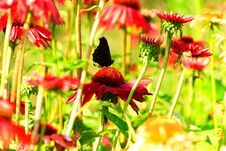 Free Red Echinacea With Butterfly Stock Images - 191157114