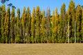 Free Poplars Stock Photography - 19123412