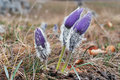 Free Crocus Flowers Stock Photos - 19124983