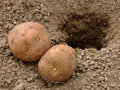 Free Planting Potatoes Royalty Free Stock Photography - 19126837