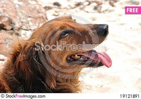 Free A Dachshund Dog Looking Upward Stock Image - 19121891
