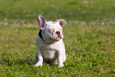 Free Cute French Bulldog Puppy Relaxing Stock Images - 19120354