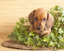 Free Dachshund Puppy Stock Photo - 19120850