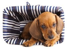 Free Dachshund Puppy Royalty Free Stock Image - 19120896