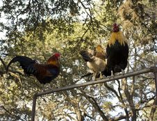 Free Roosters Perching Royalty Free Stock Photography - 19121237