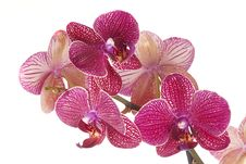 Free Red  Orchid Phalenopsis Royalty Free Stock Photo - 19121735