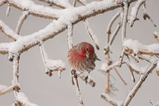 Purple Finch Royalty Free Stock Image